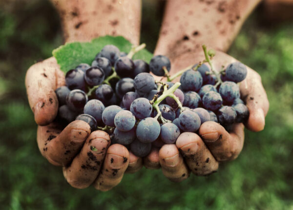 winemaggrapes